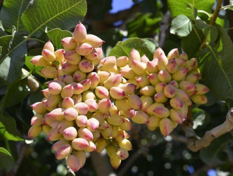 【海上明月共潮生】开心果50一斤,产果可达百年,为什么我国目前没有大规模种植?