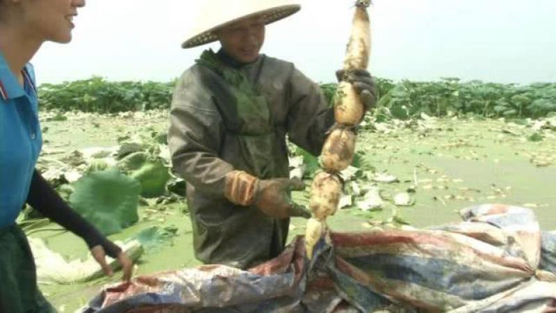 """【带花旳蘑菇】夏藕价格打""""翻身仗"""",一斤涨了2块多,亩产纯利润6000元!后期"""