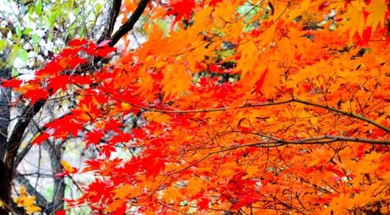 【天真可爱叫卖萌】东北国庆最美的地方,成片枫叶红似火,不要门票还几乎没有游客