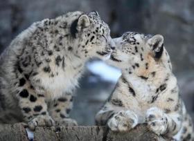 【很酷又爱笑】四季雪豹,拥有神一样的颜值,爱上那条粗粗壮壮的大尾巴,撸猫吧