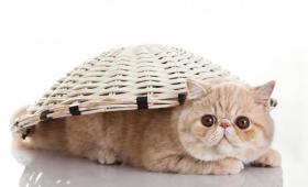 【丢了樱桃的小丸子】世界上最萌的七种宠物猫,你最喜欢哪一种?