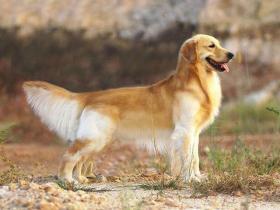 【青沐挽余寄笙歌】全球10大高颜值的狗狗,萨摩耶居榜首,博美排第二,你养了吗?