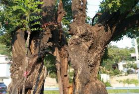 【蝴蝶亲吻猫】日寇炮弹为何炸不死这棵800岁高龄的大槐树?听村民道破玄机