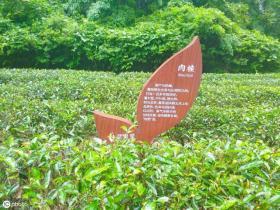 【疏影暗香残】实拍天价茶树:投保1个亿,专人保护禁止采摘,1克曾卖1万元