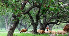 【是疯了的圆规】驻马店:确山板栗自古有名,千年古板栗林,树龄最小的也有数百年