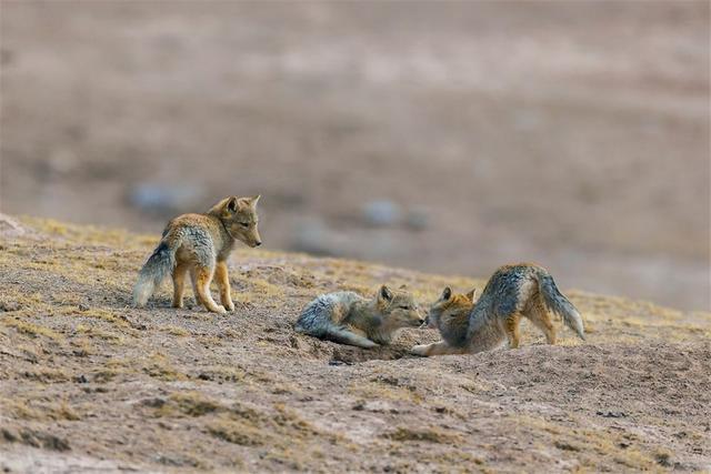 青藏线遇藏狐,一张大方脸,占旱獭窝不说,常跟在棕熊屁股后捡漏